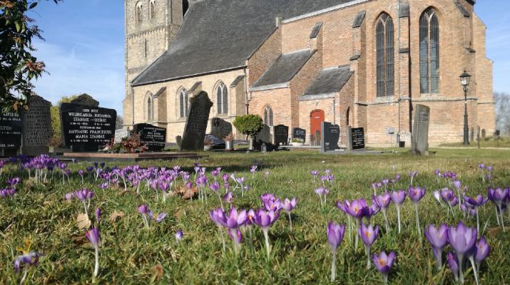 krokussen in het gras op het kerkhof, met op de achtergrond de St. Joriskerk Drempt