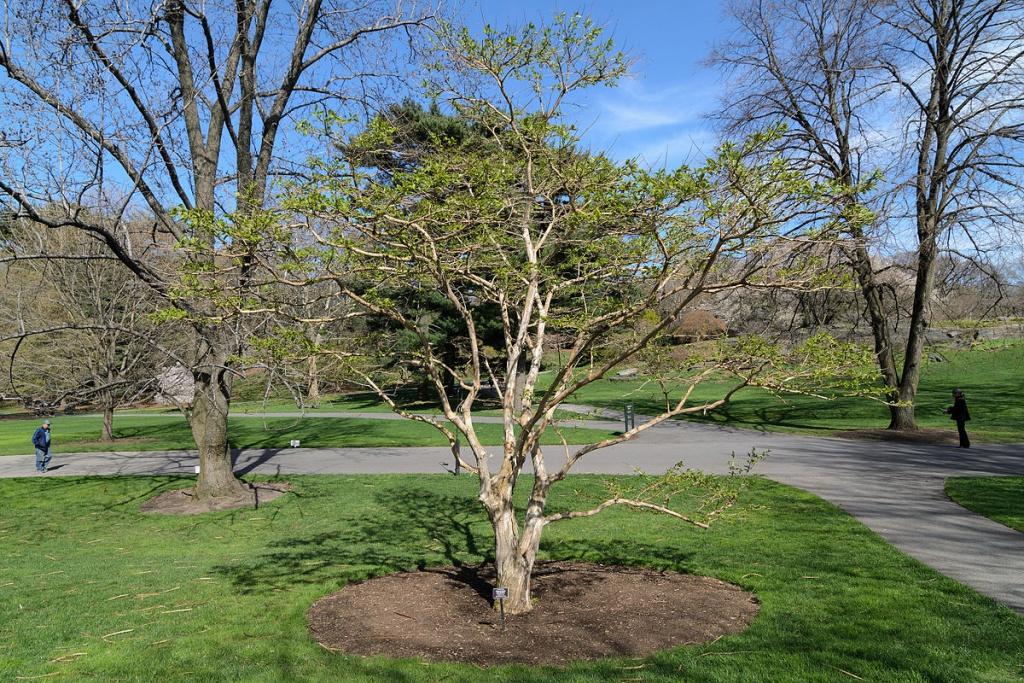 Zevenzonenboom in het park