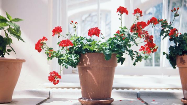 rode geranium in de vensterbank