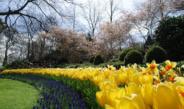 bloembollenveld